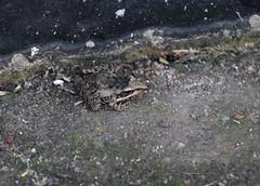 Anchieta's Rocket Frog (Ptychadena anchietae) (jd.willson) Tags: jd willson jdwillson nature wildlife herps herping fieldherping africa tanzania serengeti national park anchietas rocket frog anuran ptychadena anchietae