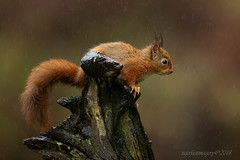 Drookit (Ross Forsyth - tigerfastimagery) Tags: squirrel redsquirrel scotland wildlife nature wild free red dumfriesgalloway hide rain drookit wet animalplanet fantasticwildlife
