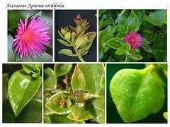 Aizoaceae Aptenia cordifolia