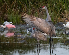 Directing traffic at the local watering hole (DonMiller_ToGo) Tags: sandhillcranes wildlife celeryfields nature onawalk birds outdoors birdwatching d810 florida