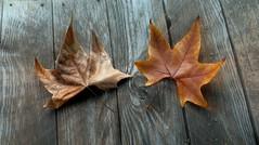 Autumnal (faby.c) Tags: autumnal autunno leaf foglie leafes wood legno panchina bench park parco villa giardino alberi trees colors colori villagiulia palermo sicily sicilia italia italy ortobotanico