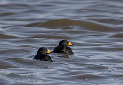 Black Scoter (Melanitta americana) (mesquakie8) Tags: bird duck feeding adultmales blackscoter melanittaamericana blsc peorialake peoriacounty illinois 7293