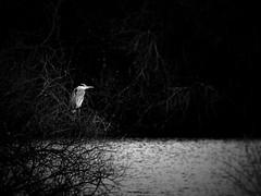 In Darkness... (Vulpe Photographie) Tags: bird birds oiseau oiseaux nature nb bw sony dschx400v animal wildlife wildlifephoto wildlifephotography ornitho ornithology ornithologie france eure normandie normandy heron héron noiretblanc