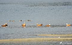 Tadornes Casarca 02 (Jean-Daniel David) Tags: oiseau oiseaudeau oie tadornecasarca réservenaturelle lac lacdeneuchâtel bancdesable eau suisse suisseromande vaud yverdonlesbains