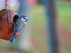 Blåmes - Blue Tit (Cyanistes caeruleus) (Amberinsea Photography) Tags: bluetit blåmes birdphotography amberinseaphotography birdphoto fågel fågelfoto naturephotography bokeh birdfeed