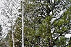 Trees (thomasgorman1) Tags: nature nilon ponderosa aspen trees outdoors winter christmas snow snowing az arizona flagstaff