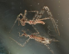 web walker Ghost assassin bug Ploiaria sp Emesinae Reduviidae Airlie Beach rainforest P1440892 (Steve & Alison1) Tags: web walker ghost assassin bug ploiaria sp emesinae reduviidae airlie beach rainforest