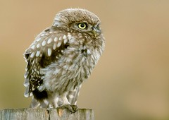 Little one (davy ren2) Tags: nikon d500 northumberland nature owl photograthy wildlife