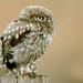 Little one (davy ren2) Tags: nikon d500 northumberland nature owl photograthy wildlife
