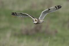 Bit of an eye-catcher! (Ade Ludlam) Tags: short eared owl raptor bird prey nature wildlife somerset nikon d7200 sigma sigma150600