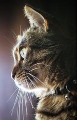 Expectation (Fernando Two Two) Tags: cat chat pet gato gat mascota felino animal closeup minino
