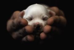 Princess Leia (Johnidis) Tags: princess leia puppy cute newborn maltese white fluffy giannis johnidis kritikos nikon