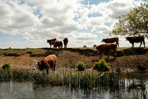 Turns out cows like a paddle