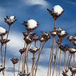 Snow caps sedum - Chapeaux de neige sur sédum thumbnail