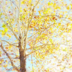 Autumn sycamore. (jeanne.marie.) Tags: bright blue green brown highkey iphone7plus iphoneography mydailywalk leaves branches tree sycamore autumn