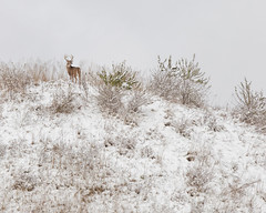 King of the Hill (Explored) (Mike Matney Photography) Tags: 2018 cahokiamounds canon collinsville eos6d illinois midwest november snow deer outdoors weather unesco