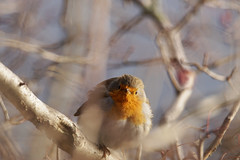 Hallo Kamera! (binaryCoco) Tags: erithacusrubecula erithacus rubecula vogel bird rotkehlchen european robin tier animal winter nature natur