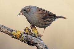 Passera Scopaiola (Prunelle Modularis) (Marcello Giardinazzo) Tags: passerascopaiola prunellamodularis avifauna wild birds bird natura uccelli