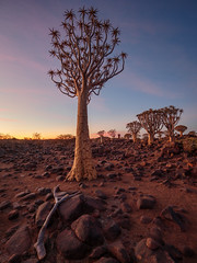 P1118659-LR (carlo) Tags: panasonic g9 dmcg9 africa africanlandscape namibia keetmanschoop quivertreeforest quivertree alberofaretra