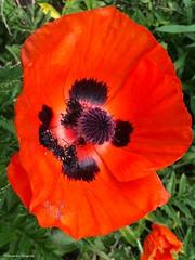 photo Alexandra Rougeron (alexandrarougeron) Tags: photo alexandra rougeron flickr fleurs nature plante végétal végétale ville beauté couleur frais