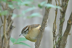 Carolina Wren (Jim Johnston (OKC)) Tags: carolinawren bird yard oklahomacity favorite plants