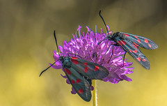 Zygaena filipendulae (Torok_Bea) Tags: zygaena filipendulae zygaenafilipendulae csüngőlepke közönségescsöngőlepke lepke natur nature nikon nikond7200 nationalpark natureshot naturlover naturshot nikond sigma sigmalens sigma105 sigma105mm flower macro color insetcts insetc