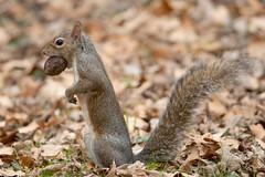 Scoiattolo grigio - Sciurus carolinensis - Eastern gray squirrel (vieri bertola) Tags: animali scoiattolo grigio