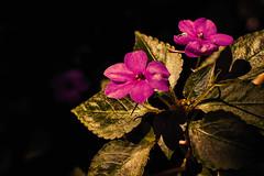 (charly84_jq) Tags: nikon nikond3200 nikonistas nikonista nikonargentina nikon3200 argentina arg flor flower flores naturaleza nature