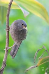 Jungle babbler/বন ছাতারে (pinhole-photography) Tags: babbler birds birdsofbangladesh wildlife nature