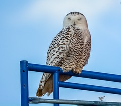 Snowy Owl (AnthonyVanSchoor) Tags: anthonyvanschoor maryland usa