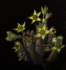 Yellow Succulent Blossoms In The Light (Bill Gracey 24 Million Views) Tags: blossoms flowers flores fleur yellow succulent nature naturalbeauty floralphotography offcameraflash yongnuo yongnuorf603n macrolens macrophotography sidelighting filllight blackbackground