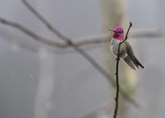 Whee! A jewel in rain (Jan.Timmons) Tags: ©jantimmons2018 annashummingbird calypteanna bird yearroundvisitor wild free almostinflight hummingbird yippee jantimmons2018 raindrops rainlines amomentofjoy