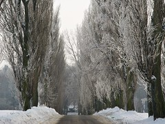 shades of winter (JoannaRB2009) Tags: klęk snow winter cold frost tree trees alley avenue poplar path road nature łódzkie lodzkie polska poland landscape view