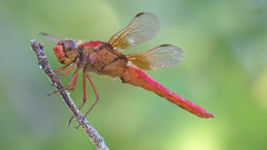 Neon Skimmers Are Friendly Dragonflies (Kaptured by Kala) Tags: libellulacroceipennis maleneonskimmer neonskimmer dragonfly maledragonfly predator insect bug closeup neon reddragonfly grinning eyelevel whiterocklake dallastexas sunsetbay pier perched cooperative posing