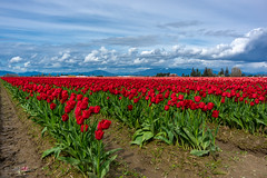Tulips in Skagit Valley! (Atif_M_Khan) Tags: yellow 500px blue flowers k3 landscape mountain outdoors pentax skagit skagitvalley spring travel washington weare500px cascademountains cascades mountains red field meadow countryside farmland pentaxk3