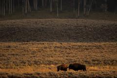 Rubans de lumière (Samuel Raison) Tags: lamarvalley bison bisons buffalo buffalos wildlife nature naturephotography wildlifephotography nikon nikond800 nikon4600mmafsgvr yellowstone yellowstonenationalpark yellowstonewildlife