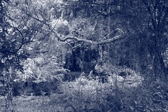 Swampy (Loopodude) Tags: swampy swamp trees branches weeds water lake blueduotone tinted withlacoocheestatetrail biglakehenderson inverness florida canont5 canonefs24mmf28
