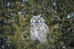 grandduc2_FB (ronaldgauthier) Tags: grandduc owl owls greathornedowl nature wildlife birdsofprey birding bird birds naturephotography