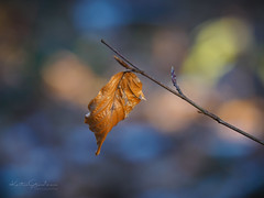 Past its best (Karsten Gieselmann) Tags: 40150mmf28 blau blätter bokeh em5markii farbe jahreszeiten mzuiko microfourthirds olympus orange wald winter blue color forest kgiesel leaf leaves m43 mft seasons wood