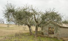 olive tree and shed (phacelias) Tags: cantagallina marleenroelofs castiglionedellago gras groen landschap olijfboom olijfgroen schuurtje winter grass green landscape olivetree olive shed erba verde paesaggio ulivo verdeulivo capannone
