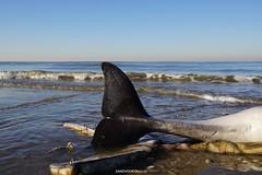 DSC03314 (ZANDVOORTfoto.nl) Tags: windstil strand zandvoort aan zee nederland netherlands beach beachlife bruinvis aangespoeld aangevreten zeehond kust jutter porpoise bruinvissen porpoises naaktstrand noordzee northsea whale little whaletail