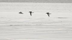 Oyster Catcher (LouisaHocking) Tags: burnamonsea oystercatcher bird sea british england seaside coastal mudflats beach wild wildlife nature wader seabird