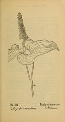 Anglų lietuvių žodynas. Žodis maianthemum bifolium reiškia maianthemum bifoliumas lietuviškai.