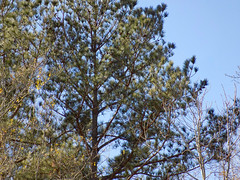 Pine Tree. (dccradio) Tags: lumberton nc northcarolina robesoncounty outdoor outdoors outside february winter afternoon saturday saturdayafternoon goodafternoon nikon coolpix l340 bridgecamera nature natural tree trees branch branches treebranch treebranches treelimb treelimbs sky bluesky pine evergreen