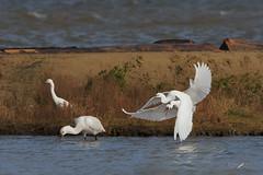 Lotta aerea (mauro.santucci) Tags: lottaaerea garzette spatola palude uccelli uccello bird avifauna natura birdwatching wildlife wild