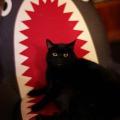Bruce knows No Fear. (fluffnik) Tags: brucecat 7artisans50mmf11 leicam9 m9 shark 50mm