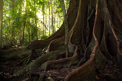 giant in the woods (Rafael Zenon Wagner) Tags: riese australien baum dschungel nikon d810 28mm vegetation regenwald colossus giant australia boom jungles rain forest