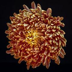 Fall Bloom (Margo Dolan) Tags: longexposure mum shaggy blackbackground orange yellow autumn fall naturallight golden petals