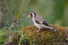 Cardellino _003 (Rolando CRINITI) Tags: cardellino uccelli uccello birds ornitologia avifauna montebaldo natura