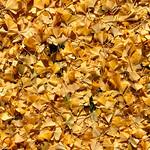 Ginkgo Leaves thumbnail